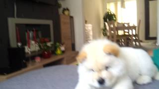 White Chow chow 2 months old Dina