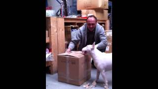 Good English Bull Terrier Trick, Training Bull Terrier 2015