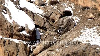 Snow Leopard walks across craggy steep cliffs - one fall and that