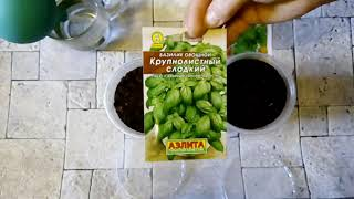 Посев на рассаду Базилик овощной Крупнолистный сладкий и Сельдерей листовой Парус