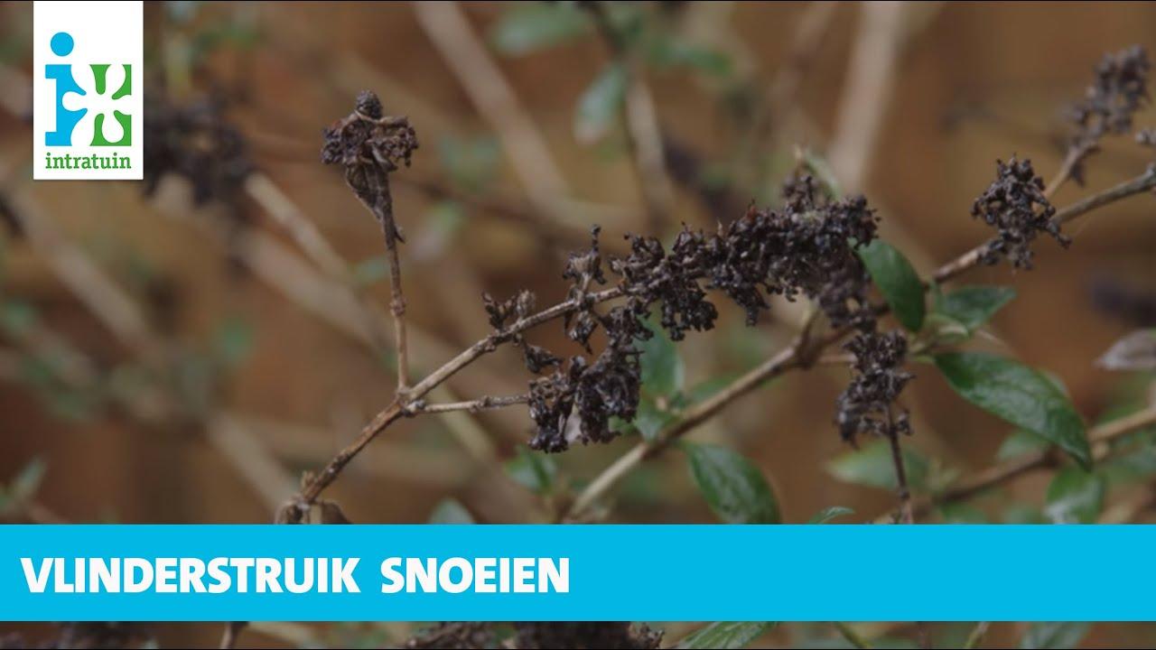 Intratuin vlinderstruik snoeien youtube for Tuin snoeien