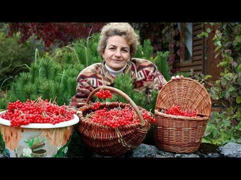 видео: Супер ягода для здоровья  Калина красная