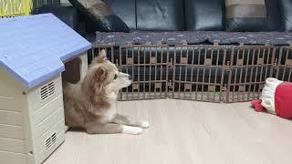 뭉치의 하우스 훈련(닭다리 득템!!)