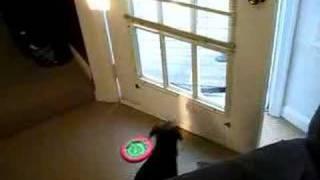 Mocha, A Border Terrier, Closes The Door On Command