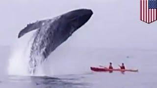 Wieloryb wyskakuje z wody i prawie zabija dwie osoby