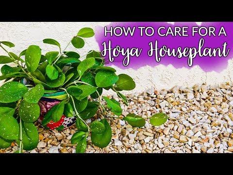 How To Care For A Hoya (Wax Plant)  Houseplant