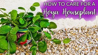 How To Care For A Hoya (Wax Plant)  Houseplant