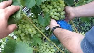 Мешочки из нейлона для защиты винограда своими руками