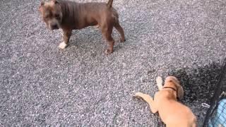 ピットブル(ブリー)がグレートデン仔犬達に的にされるが動じない。