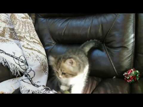 Brown mctabby tuxedo female RagaMuffin kitten