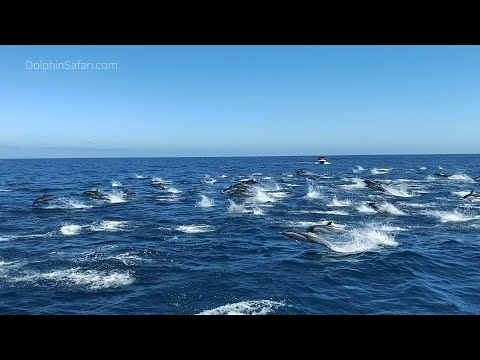 Hundreds of Dolphins Stampede Near Dana Point, California | Capt. Dave's Whale Watching