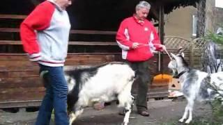 Stadko kóz w Poznaniu