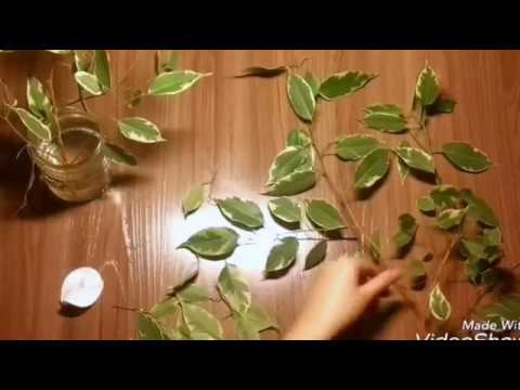 ФИКУС БЕНДЖАМИНА. Черенкование и размножение. FICUS OF BENJAMINE. Cutting and reproduction.