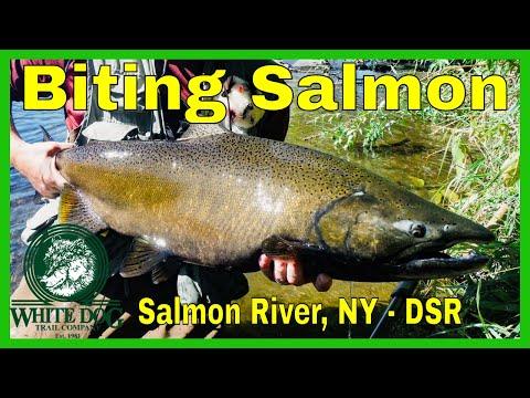 Biting Salmon - Salmon River, NY Fly Fishing 2018 - DSR