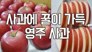 사과에 꿀이 가득 맛있는 경북 영주사과