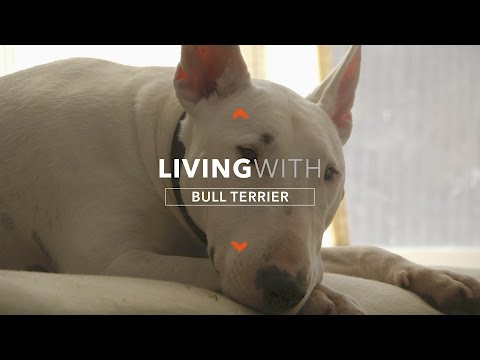 ALL ABOUT LIVING WITH HANK THE BULL TERRIER