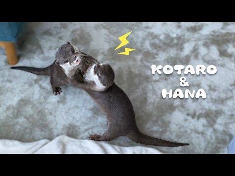 カワウソコタローとハナ 引越しました!新居を探索する2人 Otter Kotaro&Hana Arrived at Our New Home! from YouTube · Duration:  4 minutes 50 seconds