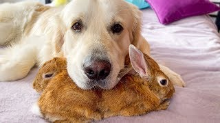The dog uses his best friends rabbits as pillows!