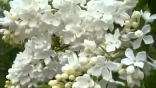 Кай Метов песня (клип-коллаж) Куст сирени