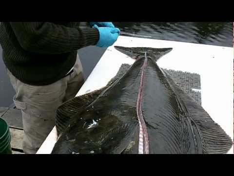 How To Filet A Halibut