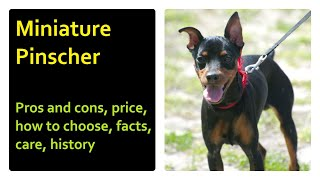 Miniature Pinscher. Pros and Cons, Price, How to choose, Facts, Care, History