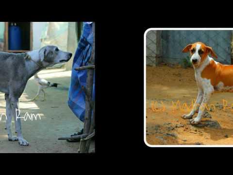Ramanathapuram Native (Mandai ,Manthai,Sambal, Kombai ) Dog Tamilnadu India -1
