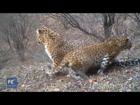 Leopards in N China