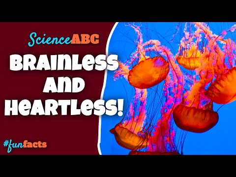 How To Live Without A Heart Or A Brain - Lessons From A Jellyfish