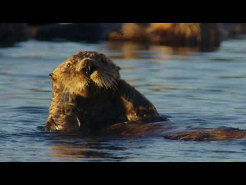 The coat of the sea otter | Alaska: A Year In The Wild | Channel 5