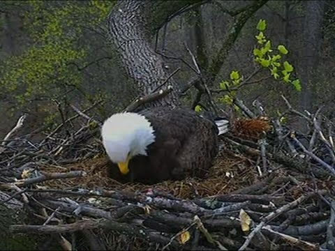 Second Chick Hatches in Bald Eagle Nest