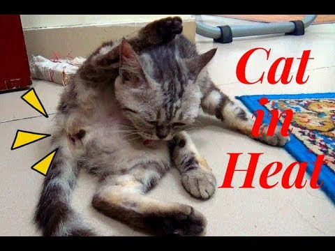 Cat In Heat How To Stop The Meowing
