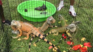 Iguana Hunting Challenge! Catching Orange and Green iguanas!