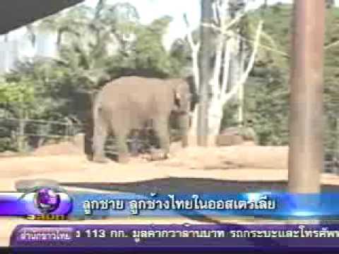 Thai calf elephtant in Sydney onair MCOT Modern nine TV