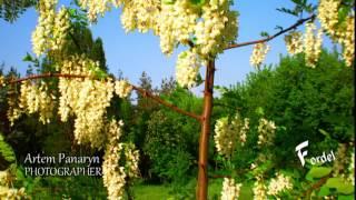 Белой акации Гроздья душистые - лечебные растения фото Артём Панарин Кравченко Olympus Picture Test