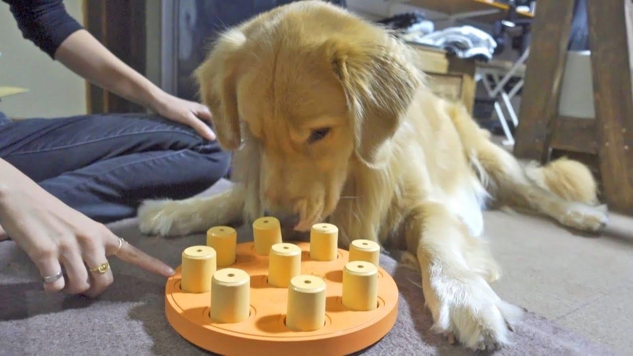 犬界屈指の頭脳を持つゴールデンなら知恵おもちゃ余裕説!