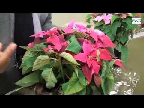 Cómo Cuidar La Planta De Navidad Consejos De Jardinería Youtube