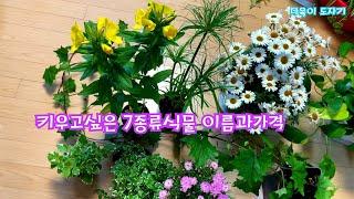 공기정화식물 독일아이비 파피루스 캔들플랜트 푸미라 황금…