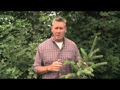 Identifying Sitka Spruce