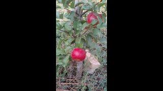 Почему несовместимы прививки фруктовых деревьев (черешня, слива, персик, яблоня груша)?