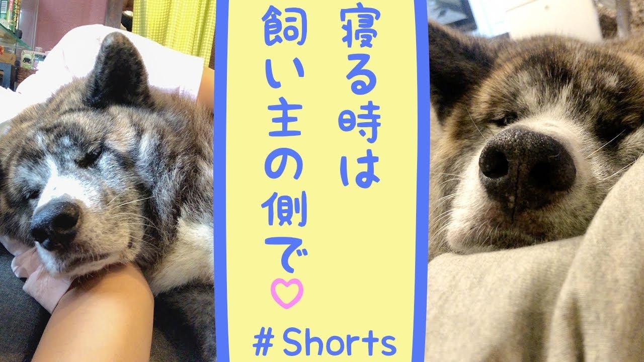 【大型犬】飼い主にくっついて寝る秋田犬が可愛すぎる #shorts