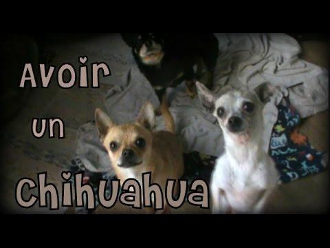 Animaux l Avoir un chihuahua l conseils et infos