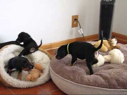 Saluki Puppies - At Play 7 2 2015