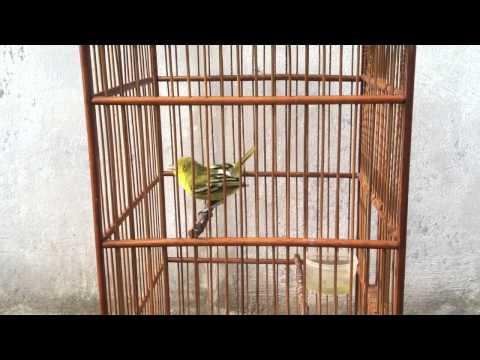 Burung cipow/sirtu/cito/cipoh masteran