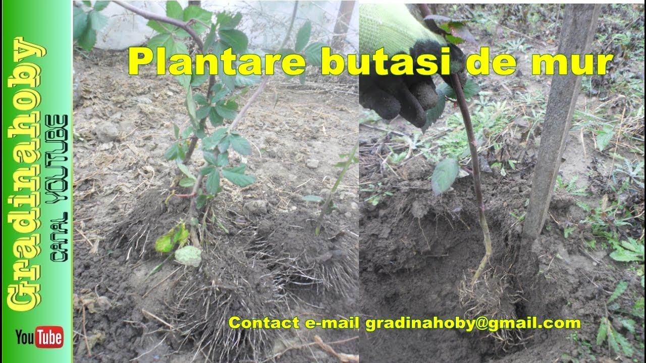 negre plantare preț