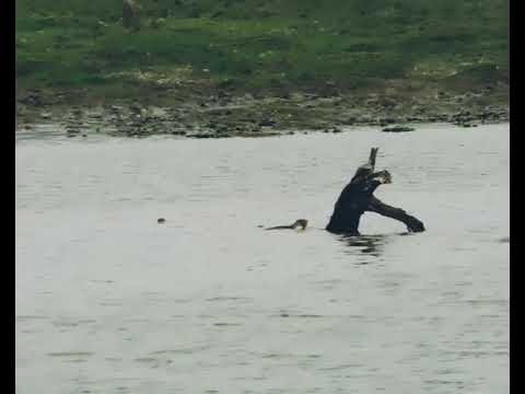Download Pallas's fishing Eagle and otters fighting.