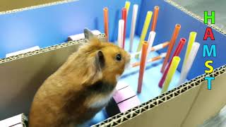 Hamster in the Speed HAMSTER Maze !! Master Hamster obstacle course DIY by Life of Pets Hamham
