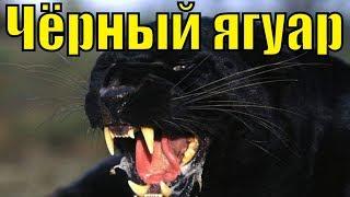 Чёрный ягуар/Хищная кошка/Горный лев/Животное Чёрная пантера леопард/самые сильные животные хищники(, 2016-06-10T18:52:31.000Z)
