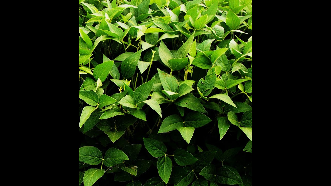 here s what soybean plants look like youtube