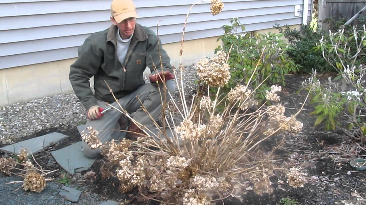 Pruning Endless Summer Hydrangea In The Spring By