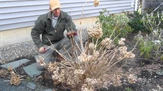 Pruning Endless Summer hydrangea in the Spring by LandscapeConsultation.com